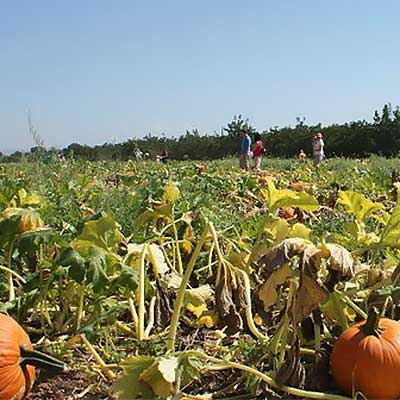 Pick Your Own Pumpkins at Bishop's Pumpkin Patch and Farm in Wheatland, California.  Also visit the corn maze, pig races, hayrides, ride the train, and gem mining-family fun at Bishop's Pumpkin Patch and Farm.